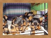 I have several CKC REGISTERED MALE YORKIE PUPPIES. They