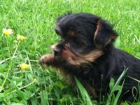 CKC Registered Yorkie - Male Born:March 15, 2012 READY