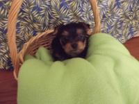 Lovely little male yorkie's they were born on 9-8-14