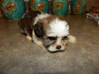 Male Yorkie- Tzu he is 8 weeks old ready for a loving