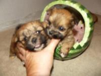 CKC Registered yorkie-tzu parents are shihtzu and