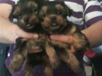 I have a litter of CKC registered yorkies that will be