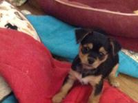 Ckc signed up Yorkinese puppies. 8 weeks old. He has