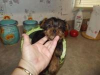 Stunning Yorkshire Terrier with child doll deals with