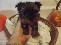 Spoiled precious yorkie;s have 2 left they are both
