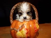 Shorkie-tzu puppys will be 6 weeks old on the 24th they