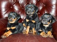 CKC registered Rottweiler infants. Mother and Daddy