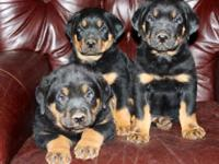 CKC signed up Rottweiler children. Mother and Father