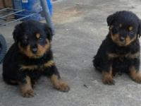 I have CKC Rottweiler pups for sale. One male and one
