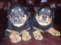 Now taking down payments for CKC signed up Rottweiler
