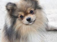 1 year old male orange sable Pomeranian for sale to pet