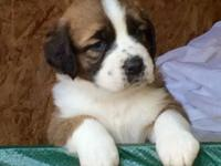 We currently have a litter of 10 beautiful St Bernard