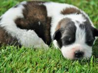 Female St.Bernard Puppy, She was Born June 6th. She