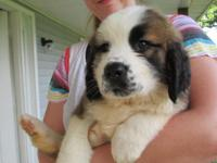 Stella is a beautiful Saint Bernard puppy born upon