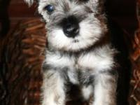 Quality CKC registered Miniature Schnauzer puppies for