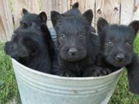Beauitful solid black Scottish Terriers Avaiable. 3