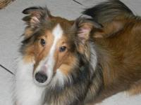 Beautiful 10 month old male sheltie. CKC registered,