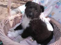 Lovey is a charming Bi-Black Sheltie with a spirited