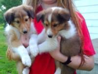 I have 2 beautiful male Sheltie puppies available! They