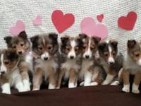 7 little sheltie puppies are trying to find their