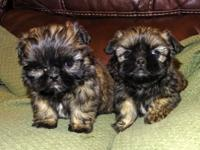 CKC Shi-poo puppies spoiled and ready for forever home.