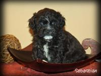 CKC Shichon Puppies. Males and females available.
