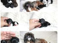 Adorable Shih Poo babies available. One black & white