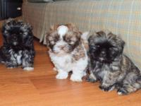 CKC Shih Tzu puppies spoiled & ready for their forever