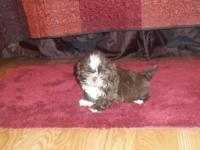 CKC registered Shih Tzu 3 Girls and 1 guy that were