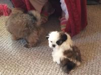 CKC Shih Tzu babies 2 boys and one girl. Ready to go