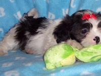 CKC registered, 8-week-old baby boy Shih Tzu--first