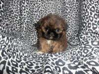 Cute female Shih Tzu brindle with white markings.
