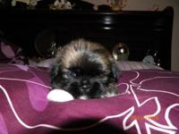 1--CKC FEMALE SHIH TZU $400.00 WILL HAVE FIRST SHOT AND