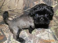 Ckc shih Tzu female has been groomed will be ready to