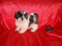 Baby Shih Tzu girl is ready for her forever home. She