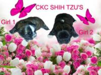 2 CKC FEMALE SHIH TZU $400.00 EACH WILL HAVE FIRST SHOT