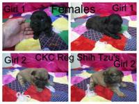 2-- Female Ckc Shih Tzu's they have first shot and they