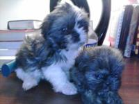 we have 3 wonderful shitzhu puppies that are ready for