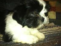Adorable black and white male Shih Tzu puppy for sale.