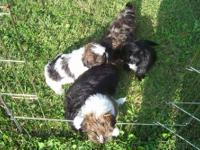 I have a new litter of Shih-tzu's puppies they are 7
