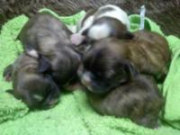 I have some new Shih-tzu puppies up for sale. I have 2