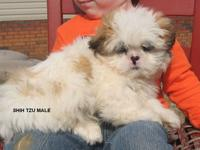 Beautiful shih-tzu puppies. They are brown & white in
