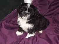 READY NOW!! two perfect little CKC shih tzu puppies.