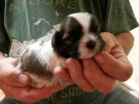 I have 4 Adorable Shih Tzu puppies that are 3 weeks