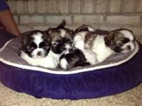 Adorable CKC Shih Tzu Puppies - Looking for their
