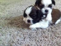 I have 4 male shih-tzu puppies. CKC registered. 4 weeks