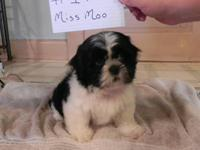 I have 5 shih-tzu puppies for sale 1 girl and 4 boys.