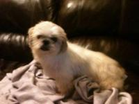 I have the last one of 8 CKC Shih tzu puppies for
