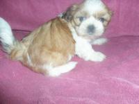 CKC Reg. Shih Tzu female born 4/15/15. Princess is an