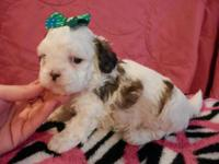 I have 2 ADORABLE male, CKC Shih Tzu puppies that are